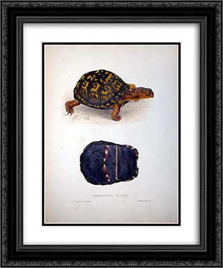 Terrapene clausa 20x24 Black or Gold Ornate Framed and Double Matted Art Print by Edward Lear
