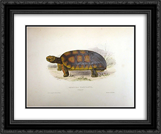 Testudo tabulata (Chelonoidis denticulata) 24x20 Black or Gold Ornate Framed and Double Matted Art Print by Edward Lear