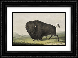 Buffalo Bull Grazing 24x18 Black or Gold Ornate Framed and Double Matted Art Print by George Catlin