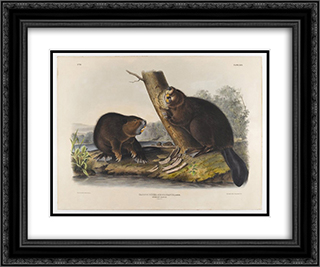 American Beaver 24x20 Black or Gold Ornate Framed and Double Matted Art Print by John James Audubon
