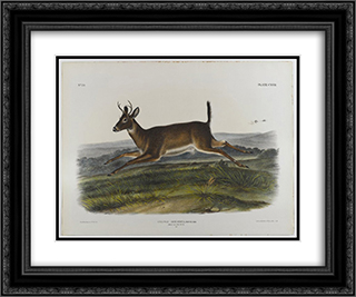 Long-Tailed Deer 24x20 Black or Gold Ornate Framed and Double Matted Art Print by John James Audubon