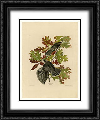 Plate 107 Canada Jay 20x24 Black or Gold Ornate Framed and Double Matted Art Print by John James Audubon