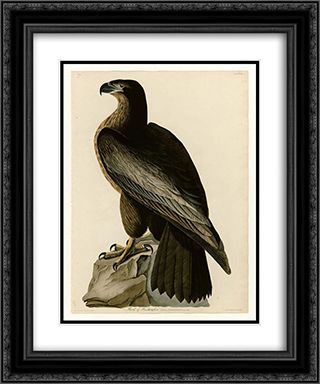 Plate 11. Bird of Washington 20x24 Black or Gold Ornate Framed and Double Matted Art Print by John James Audubon