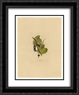Plate 114 White-crowned Sparrow 20x24 Black or Gold Ornate Framed and Double Matted Art Print by John James Audubon