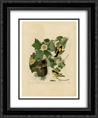Plate 12. Baltimore Oriole 20x24 Black or Gold Ornate Framed and Double Matted Art Print by John James Audubon