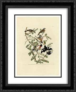 Plate 127 Rose-breasted Grosbeak 20x24 Black or Gold Ornate Framed and Double Matted Art Print by John James Audubon
