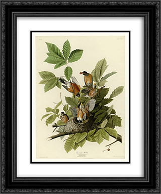 Plate 131 American Robin 20x24 Black or Gold Ornate Framed and Double Matted Art Print by John James Audubon