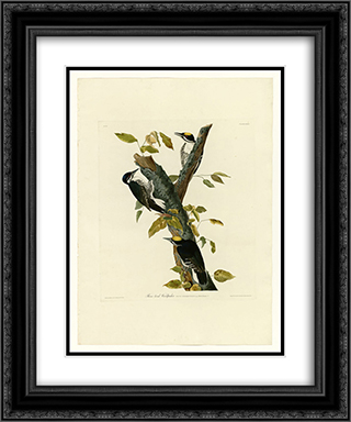 Plate 132 Three-toed Woodpecker 20x24 Black or Gold Ornate Framed and Double Matted Art Print by John James Audubon