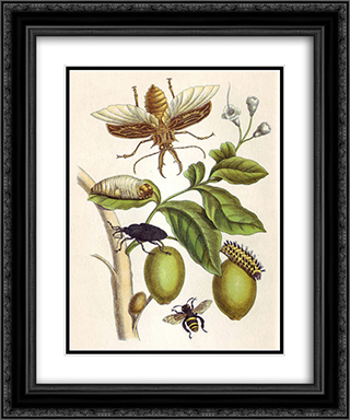 from Metamorphosis insectorum Surinamensium, Plate XLVIII 20x24 Black or Gold Ornate Framed and Double Matted Art Print by Maria Sibylla Merian
