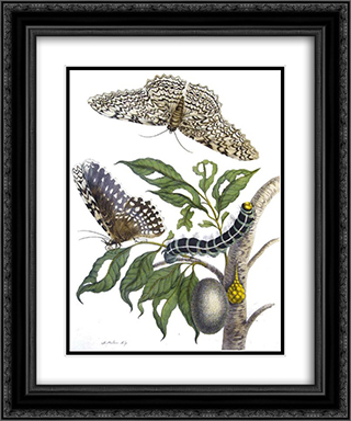 from Metamorphosis insectorum Surinamensium, Plate XX. (Thysania agrippina) 20x24 Black or Gold Ornate Framed and Double Matted Art Print by Maria Sibylla Merian