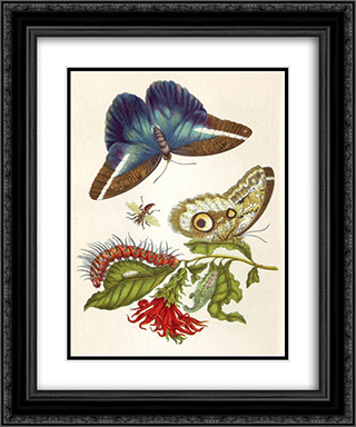 Metamorphosis insectorum Surinamensium 20x24 Black or Gold Ornate Framed and Double Matted Art Print by Maria Sibylla Merian
