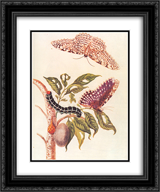 Metamorphosis of a Butterfly 20x24 Black or Gold Ornate Framed and Double Matted Art Print by Maria Sibylla Merian