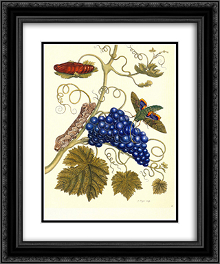 Plate of a moth (Eumorpha labruscae) that feeds on grape (Vitis vinifera) 20x24 Black or Gold Ornate Framed and Double Matted Art Print by Maria Sibylla Merian