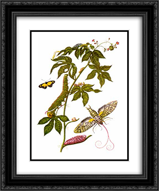 Plate showing stages of Cocytius antaeus, from Metamorphosis insectorum Surinamensium 20x24 Black or Gold Ornate Framed and Double Matted Art Print by Maria Sibylla Merian