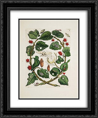 unknown title 20x24 Black or Gold Ornate Framed and Double Matted Art Print by Maria Sibylla Merian