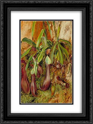 A Bornean Pitcher Plant, Sarawak, Borneo 18x24 Black or Gold Ornate Framed and Double Matted Art Print by Marianne North