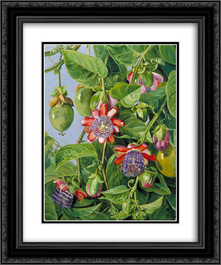 Flowers and Fruit of the Maricojas Passion Flower, Brazil 20x24 Black or Gold Ornate Framed and Double Matted Art Print by Marianne North