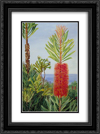 Flowers of a West Australian Shrub and Kangaroo Feet 18x24 Black or Gold Ornate Framed and Double Matted Art Print by Marianne North
