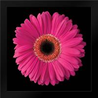 Gerbera Daisy Pink: Framed Art Print by Christensen, Jim