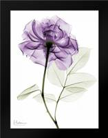 Purple Rose: Framed Art Print by Koetsier, Albert