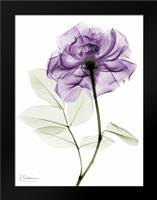 Purlpe Rose 2: Framed Art Print by Koetsier, Albert
