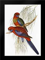Platycercus Pennantii: Framed Art Print by Ashley, Aaron