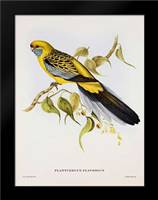 Platycercus Derbianus: Framed Art Print by Ashley, Aaron