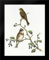 Emberiza Rustica: Framed Art Print by Ashley, Aaron