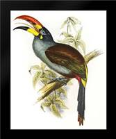 Pteroglossus Hypoglaucus: Framed Art Print by Ashley, Aaron