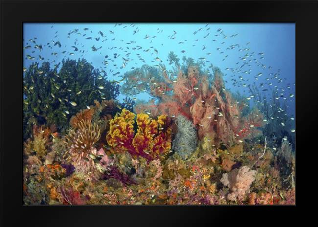 Diverse reef life, Misool, Raja Ampat, Indonesia: Framed Art Print by Shimlock, Jones