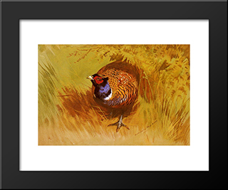 A Cock Pheasant:  Modern Black Framed Art Print by Archibald Thorburn