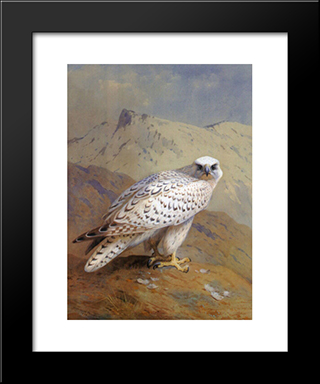 A Greenland, Or Gyr Falcon:  Modern Black Framed Art Print by Archibald Thorburn