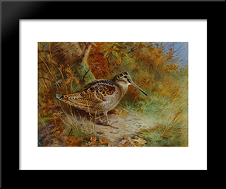 A Woodcock:  Modern Black Framed Art Print by Archibald Thorburn