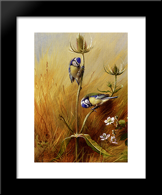 Bluetits On A Teasel:  Modern Black Framed Art Print by Archibald Thorburn