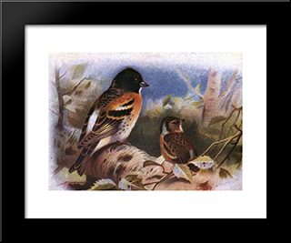 Brambling:  Modern Black Framed Art Print by Archibald Thorburn