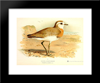 Caspian Plover:  Modern Black Framed Art Print by Archibald Thorburn