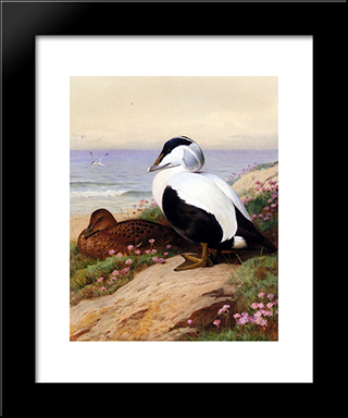 Common Eider Ducks:  Modern Black Framed Art Print by Archibald Thorburn