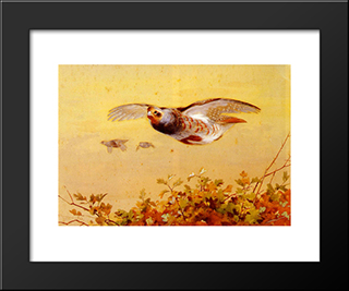 English Partridge In Flight:  Modern Black Framed Art Print by Archibald Thorburn