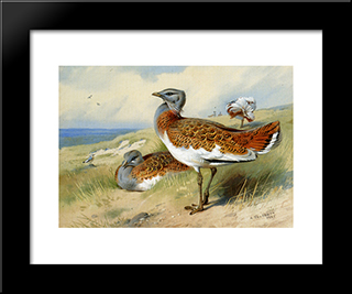 Great Bustards:  Modern Black Framed Art Print by Archibald Thorburn