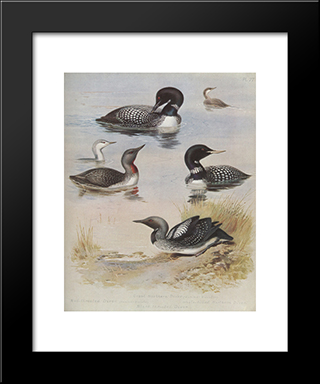 Great Northern Diver:  Modern Black Framed Art Print by Archibald Thorburn
