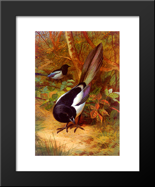 Magpies:  Modern Black Framed Art Print by Archibald Thorburn