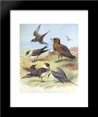 Richardson'S Skua, Great Skua, Pomarine Skua:  Modern Black Framed Art Print by Archibald Thorburn