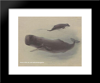 Sperm Whale And Bottlenose Whale:  Modern Black Framed Art Print by Archibald Thorburn