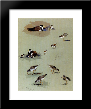 Study Of Sandpipers, Cream Coloured Coursers And Other Birds:  Modern Black Framed Art Print by Archibald Thorburn