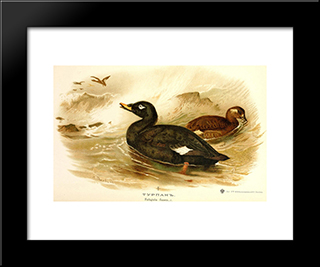Velvet Scoter:  Modern Black Framed Art Print by Archibald Thorburn