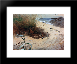 Woodcock Among The Dunes:  Modern Black Framed Art Print by Archibald Thorburn