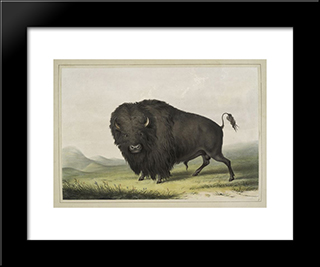 Buffalo Bull Grazing: Modern Black Framed Art Print by George Catlin