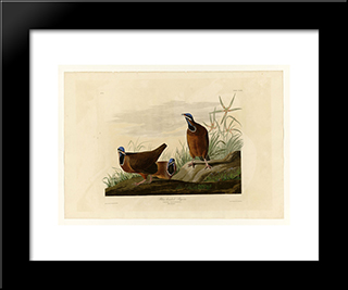 Plate 172 Blue-Headed Pigeon: Custom Black Or Gold Ornate Gallery Style Framed Art Print by John James Audubon