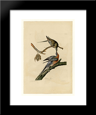 Plate 62. Passenger Pigeon: Custom Black Or Gold Ornate Gallery Style Framed Art Print by John James Audubon