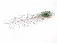 "Peacock Eye Tails - Natural - 8""-15"""